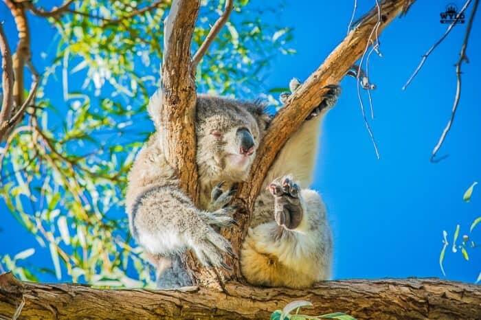 Raymond Island Koala walk