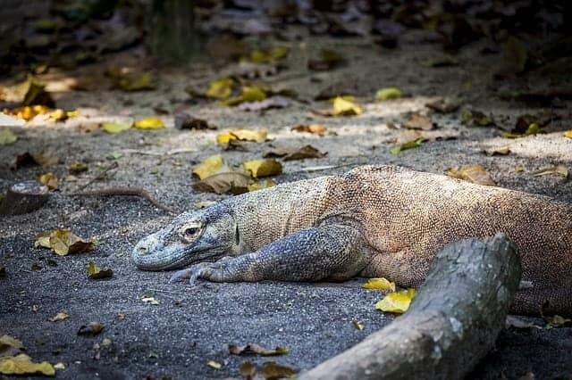 Komodo Dragon in Indonesia