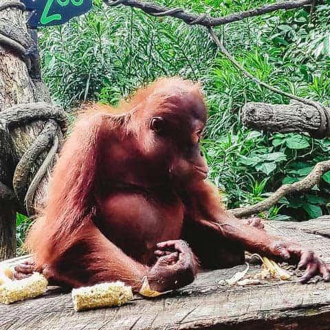 eating Orangutans at Singapore Zoo