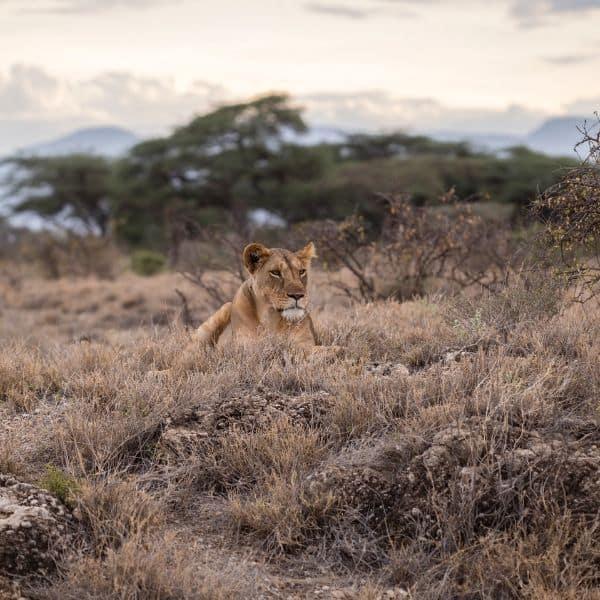 Lion in Affrica
